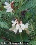 Erophaca baetica subsp. baetica
