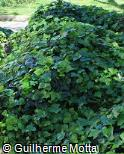 Hedera helix ´Thorndale´