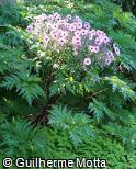 Geranium maderense