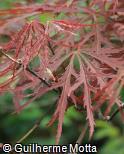 Acer palmatum ´Dissectum´
