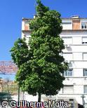 Corynocarpus laevigatus