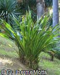 Doryanthes excelsa
