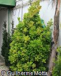 Euonymus japonicus ´Medio-picta´