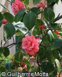 Camellia japonica ´Ed Combatalade´