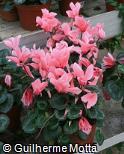 Cyclamen persicum ´Halios Victoria Salmon´