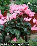 Cyclamen persicum ´Rose With Eye´
