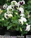 Viola × wittrockiana ´Colossus White W/Blotch´