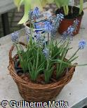 Muscari armeniacum ´Blue Spike´
