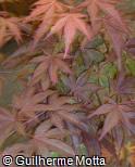 Acer palmatum ´Oshio Beni´
