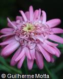 Argyranthemum frutescens ´Pomponette Pink`´