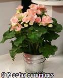 Begonia x hiemalis ´Binos soft pink´