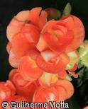 Begonia x hiemalis ´Dark britt´