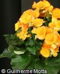 Begonia x hiemalis ´Nadine´