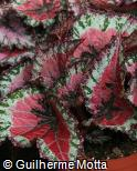 Begonia rex ´Mini Merry´