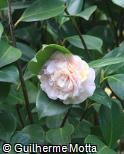 Camellia japonica ´Lavinia Maggi´