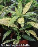Codiaeum variegatum ´Gold Sun´