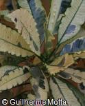 Codiaeum variegatum ´Tamara´