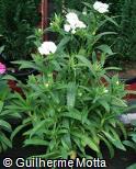Dianthus chinensis ´Elegance White´