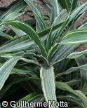 Dracaena fragrans ´Warneckei´