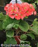 Primula obconica ´Deep orange´
