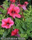 Petunia × hybrida ´Pink Veined´