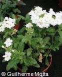 Verbena hybrida ´Aztec White Pearl´
