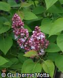 Syringa vulgaris ´Belle de Nancy´