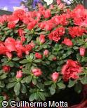 Rhododendron simsii ´Nordlicht´
