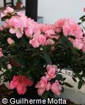 Rhododendron simsii ´Terra Nova´