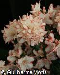 Rhododendron  ´Sachsenstern´