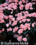 Rhododendron simsii ´Christine Matton´