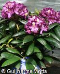Rhododendron × hybridum ´Frank galsworthy´
