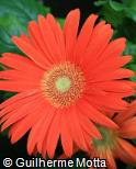 Gerbera jamesonii ´Red Explosion´