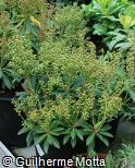 Pieris japonica ´Forest flame´