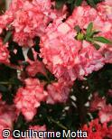 Rhododendron simsii ´Panfilia´
