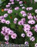Osteospermum ecklonis ´Kalanga Lavender ´