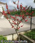 Cerasus campanulata