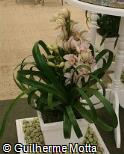 Cymbidium  ´Nanci´