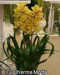 Cymbidium  ´Mini Soe´