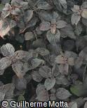 Plectranthus scutellarioides ´Dark Star´