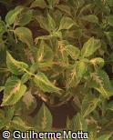 Plectranthus scutellarioides ´Yellow Eclipse´