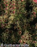 Plectranthus scutellarioides ´India Frill´