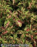 Plectranthus scutellarioides ´Blumei´
