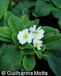 Primula x polyantha ´Crescendo white´