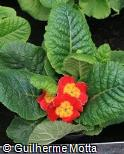 Primula x polyantha ´Crescendo bright red´