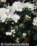 Rhododendron simsii ´Polarstern´