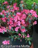 Rhododendron simsii ´Davina´