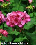 Pelargonium x hortorum ´Orchid´
