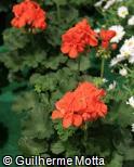Pelargonium x hortorum ´Orange´