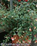 Fuchsia × hybrida ´Ballet Girl´
